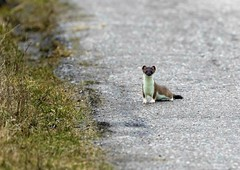 Stoat on the road (Jaedde & Sis) Tags: lækat hermelin weasel stoat mustelaerminea small predator skagen fuglestation friendlychallenges sweep 15challengeswinner challengefactorywinner thechallengefactory