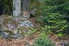 On the Prowl (The Wasp Factory) Tags: eurasianlynx lynx eurasischerluchs nordluchs luchs lynxlynx tierfreigeländelusen tierfreigelände lusen nationalparkbayrischerwald nationalpark bayrischerwald bavarianforestnationalpark bavarianforest bavarian forest national park wildlifepark wildpark tierpark
