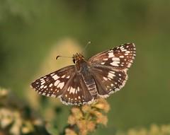 Pyrgus communis, Common Checkered-skipper (tripp.davenport) Tags: lepidoptera skipper pyrguscommunis commoncheckeredskipper cooksslough cookssloughnaturepark uvaldecounty tx