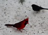 without his mate (HalcyonPhotos) Tags: cardinal snow winter calm white red