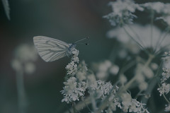 Green-veined White (microwyred) Tags: singleflower events buttercups nature butterflyinsect leaf insect greencolor animal flower backgrounds summer greenvainedwhite macro outdoors butterfly plant closeup beautyinnature multicolored season wildlife animalwing springtime wildflowers