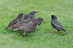 juveniles with adult (sure2talk) Tags: starling juveniles blackbird nikond7000 nikkor70300mmf4556afsifedvr