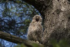 (Rick 2025) Tags: birds raptors owls barredowls juveniles lemoinespoint yawn