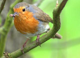 Cool Robin