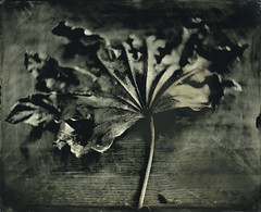Dead Leaf ([Eric OLIVIER]) Tags: photography wetplate collodion humide process alternativ blackandwhite noiretblanc largeformat 8x10 poeboy ambrotype filmisnotdead
