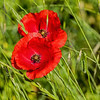 Joli champ (AnneLise Pollet) Tags: coquelicot popies rouge champ