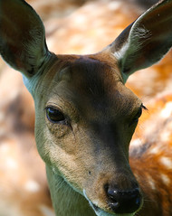 New friends (LuckyMeyer) Tags: tier animal zoo brown eye makro reh wild deer
