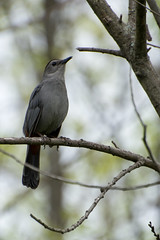 Catbird Chorus (hmthelords) Tags: