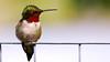 Sitting Pretty (Bob's Digital Eye) Tags: ♂ animal bird birdsinflight bobsdigitaleye canon canonefs55250mmf456isstm closeup depthoffield fauna flicker flickr hummingbird may2018 rubythroatedhummingbird t3i wildbirds wildlife