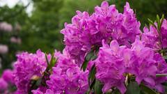 Wilhelmina Flowers (Travis Daki) Tags: flowers wilhelmina park color colour trees flower red purple rose nature flora