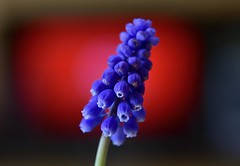 Blue on red! (ineedathis, Everyday I get up, it's a great day!) Tags: grapehyacinths muskari blue purple red white green flower spring nature garden perennial plant nikond750 bokeh tvscree