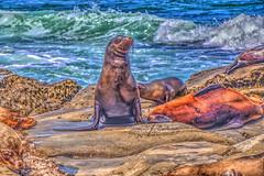 Sentry (Michael F. Nyiri) Tags: seal animal rocks lajollacove sandiego california waves southerncalifornia