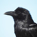 One of our Mated Pair of Ravens