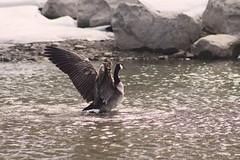 IMG_9433 copy (Britt2050) Tags: goose princesislandpark bird waterfowl