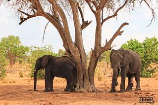 Five legged elephant