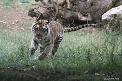 Tigresse_MITSY (Passion Animaux & Photos) Tags: tigre generique tiger panthera tigris parc auxois france