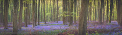 Parnholt Woods Bluebells (Kevin Browne Photography) Tags: april beautiful beech blue bluebells carpet dawn early england explore flowers forest getoutside hampshire kevinbrownephotography light macro mood morning parnholtwoods purple spring sunrise trees violet warmth wide zoom braishfield unitedkingdom panoramic panorama canon kevinbrownephotographycom
