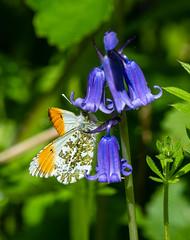 orange-tip butterfly 157a_54 (Baffledmostly) Tags: croomepark insects nationaltrust bluebell flowersgrassesandmosses gender male orangetip