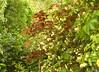 Little Acer palmatum 'Atropurpureum' in a cloud of Banks roses (hardworkinghippy : La Ferme de Sourrou) Tags: permaculture france lafermedesourrou forêtcomestible l'autosuffisancealimentaire