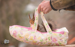 hands carrying an Baby Carriage with red squirrel