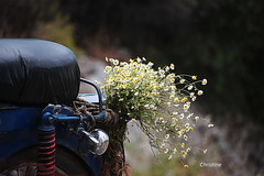 a romantic motorcyclist (christinehag) Tags: motorcycle camomile spring printemps άνοιξη χαμομήλι wildflowers αγριολούλουδα
