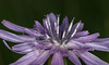 Stamens (lkiraly72) Tags: stamens wildflower macro spring nature outdoor