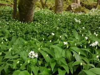 Forest of wild garlic