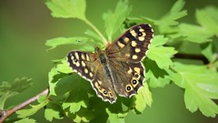 Speckled Wood (doranstacey) Tags: nature wildlife butterfly speckled brown kiveton woodland tamron 150600mm nikon d5300 wood insects