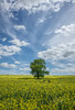 Adrift in a sea of yellow (grbush) Tags: tree lonetree lonelytree minimalism oilseedrape rural countryside farm agriculture sonyilce7 landscape yellow clouds sky alone sigma24mmsuperwideiif28