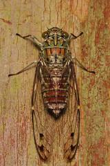 Heuchys fusca (Common Cicada) - Singapore (Nick Dean1) Tags: hemiptera cicadellidae cicada cicadidae animalia arthropoda arthropod hexapoda hexapod insect insecta singapore