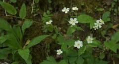 Renoncules au bord du ruisseau - Bolandoz (francky25) Tags: renoncules au bord du ruisseau bolandoz flore franchecomté doubs botanique