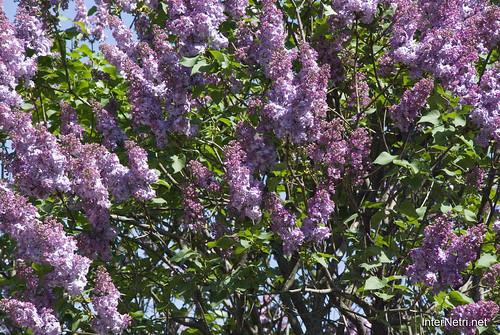 Сад бузків Ботанічний сад імені Гришка InterNetri  Ukraine 12