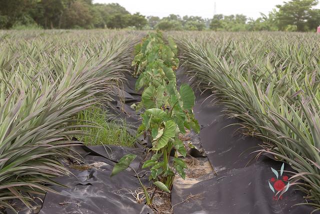 鳳梨、竹筍通通吃酵素長大,無農藥耕種 三竹居士 (9)