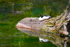 Relaxing (Neal D) Tags: bc rotarytrail chilliwack bird mergusmerganser merganser commonmerganser log pond