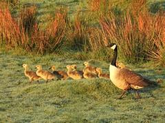 Canada Goose with Ten Goslings (Gilli8888) Tags: northeast countryside nikon p900 coolpix northumberland birds water waterbirds druridge druridgeponds geese goslings canadageese ten eleven goose wetlands