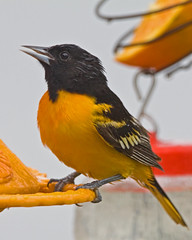 ORANGE CRUSH (ddt_uul) Tags: summer orange oriole baltimoreoriole bird black feeder perch