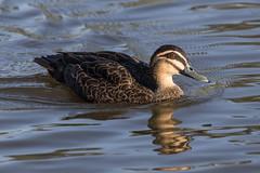 Pacific Black Duck 1 (RoosterMan64) Tags: australia australiannativebird duck nsw nature pacificblackduck waterbird wildlife