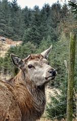 Red Deer (paulfarrington46) Tags: scotland2018 reddeer gallowayforestpark dumfriesandgalloway
