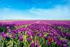 Tulips, tulips, tulips.... (http://www.paradoxdesign.nl) Tags: flowerbulb flowers tulips tulpen holland tourism characteristic fields flevoland polder noordoost horizon fleural floral flora botanic agriculture sunshine sunny day windmills alternative energy 24mm nikon