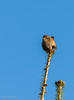 Wren (Mr.Borup) Tags: wren gærdesmutte troglodytestroglodytes birds fuglegærdesmuttehornslet