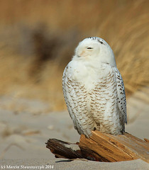 Owl from the side (v4vodka) Tags: bird birding birdwatching animal nature wildife owl snowyowl sowa sowka predator raptor buboscandiacus sowasniezna puchaczsniezny nycteascandiaca schneeeule eule 雪鸮