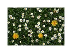 Fleurs communes... (Laurent TIERNY) Tags: fleurs nature