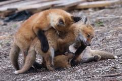 IMG_3094 red fox (starc283) Tags: starc283 wildlife flickr flicker fox kits red canon 7d nature natures finest nebraska watcher outdoors outdoor predator prairie kit foxes smug bug animal grass bear pet mammal