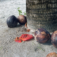 Coconuts (Robyn Hooz) Tags: coconut palma palm beach sand maldives islands trunk leaves foglie holiday