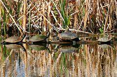 Turtles on a Log (Colorado Sands on autumn break) Tags: turtle sliderturtle lakewood colorado usa sandraleidholdt wildlife water belmar pond americanslider