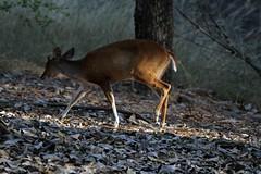 IMG_6104 (rajashekarhk) Tags: youngsambar nikon nature naturephotography wildlife lightandshade t tamilnadu travalphotography rajashekar hkr n
