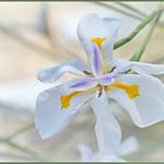 Siberian Iris thumbnail