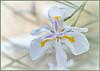 Siberian Iris (tdlucas5000) Tags: iris flower siberianiris flowers macro closeup bokeh creamybokeh d850 sigma105 california spring