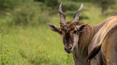 Nairobi-Nationalpark-7104 (ovg2012) Tags: commoneland eland elenantilope kenia kenya nairobi nairobinationalpark safari