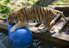 National Zoo 3 May 2018  (338) Tiger (smata2) Tags: tiger tigre smithsoniannationalzoo zoo zoosofnorthamerica itsazoooutthere animals zoocritters bigcats flickrbigcats